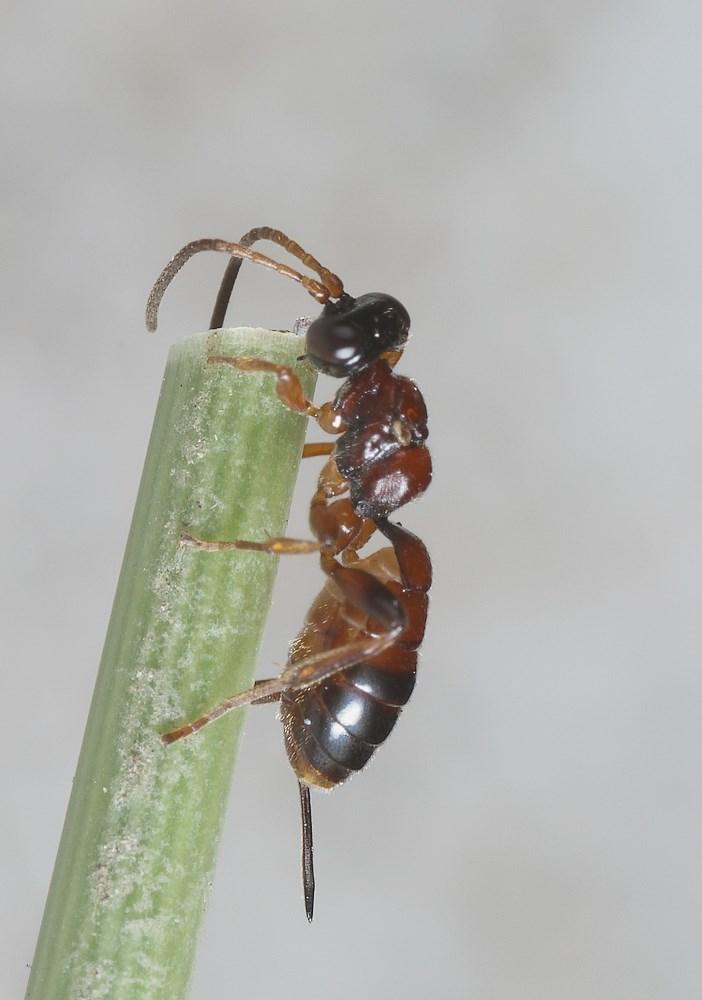 Theroscopus esenbeckii