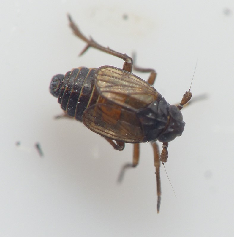 Delphacodes venosus (Delphacodes venosus)