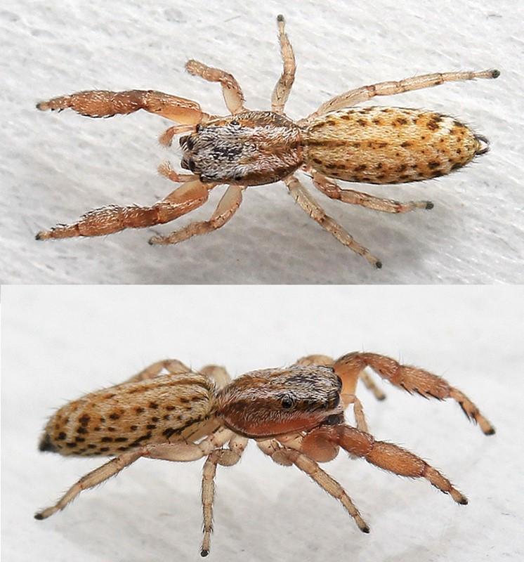 Klitspringedderkop (Marpissa nivoyi)