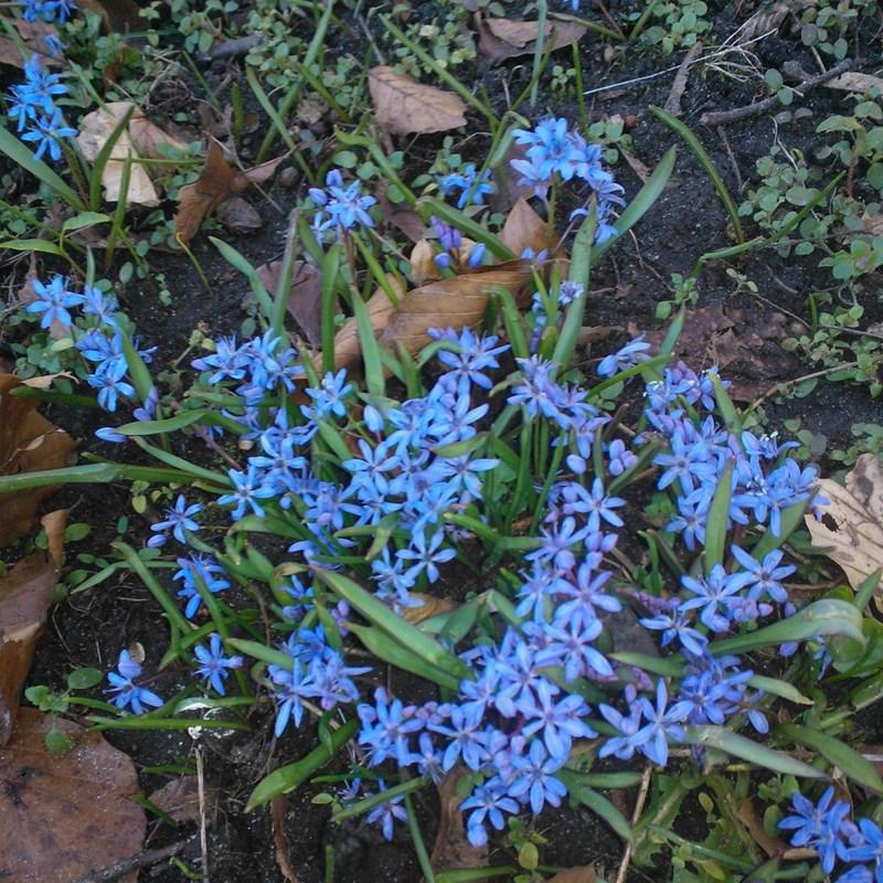 Tobladet Skilla (Scilla bifolia)