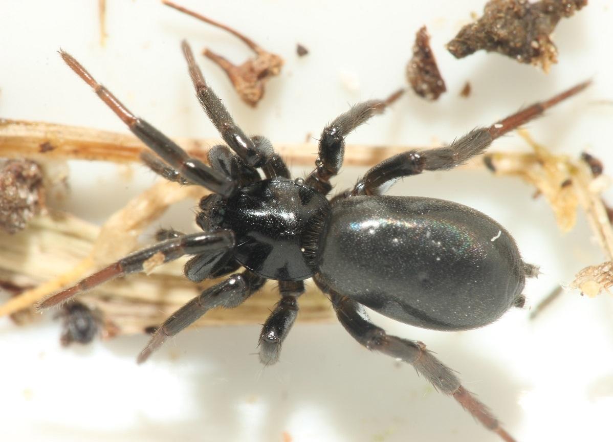 Foto/billede af Zelotes sp. (Zelotes sp.)