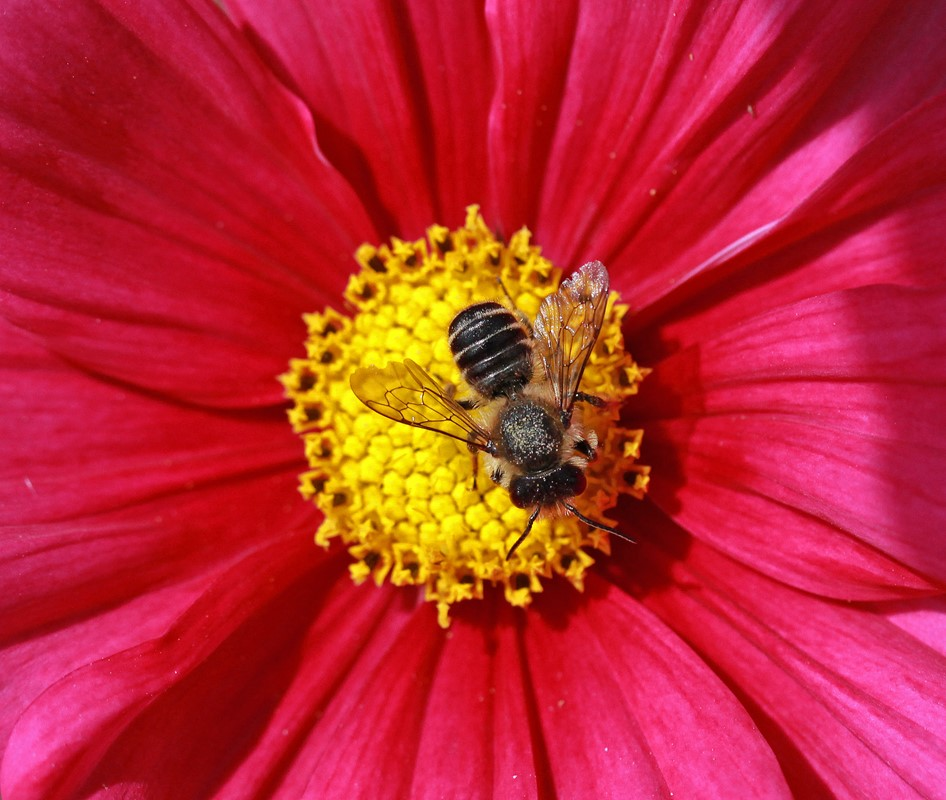 Foto/billede af Rosenbladskærerbi (Megachile centuncularis)