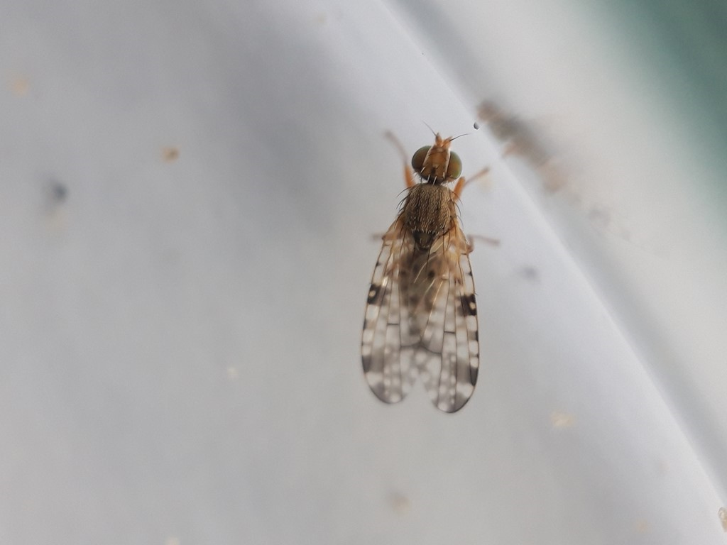 Brøndselflue