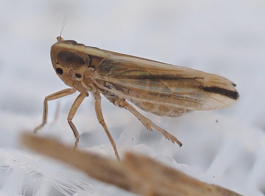Foto/billede af Kelisia sabulicola (Kelisia sabulicola)