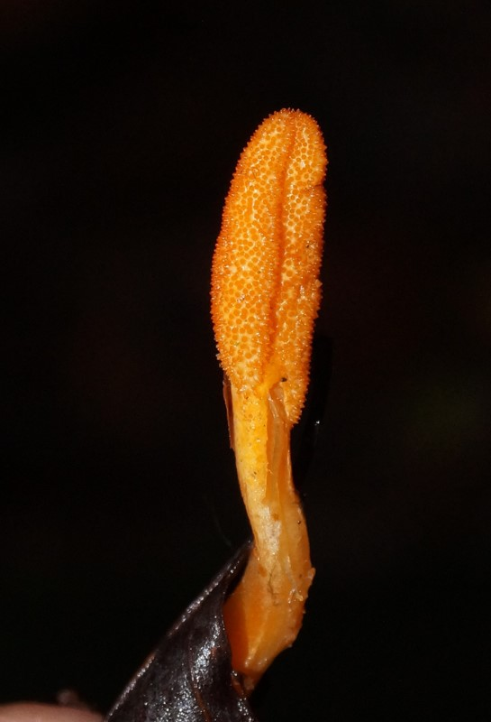 Puppe-Snyltekølle (Cordyceps militaris)