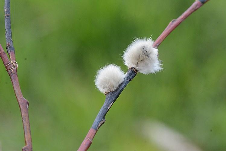 Foto/billede af Pommersk Dug-Pil (Salix daphnoides ssp. daphnoides)