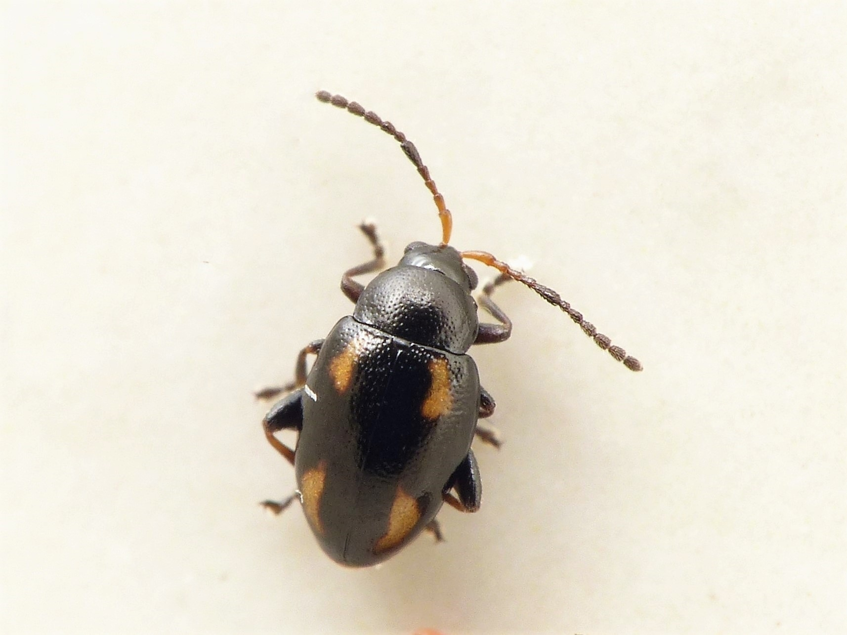 Phyllotreta exclamationis (Phyllotreta exclamationis)
