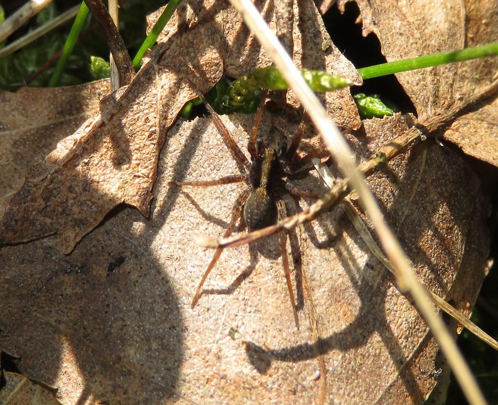 Foto/billede af Skovjæger (Pardosa saltans)