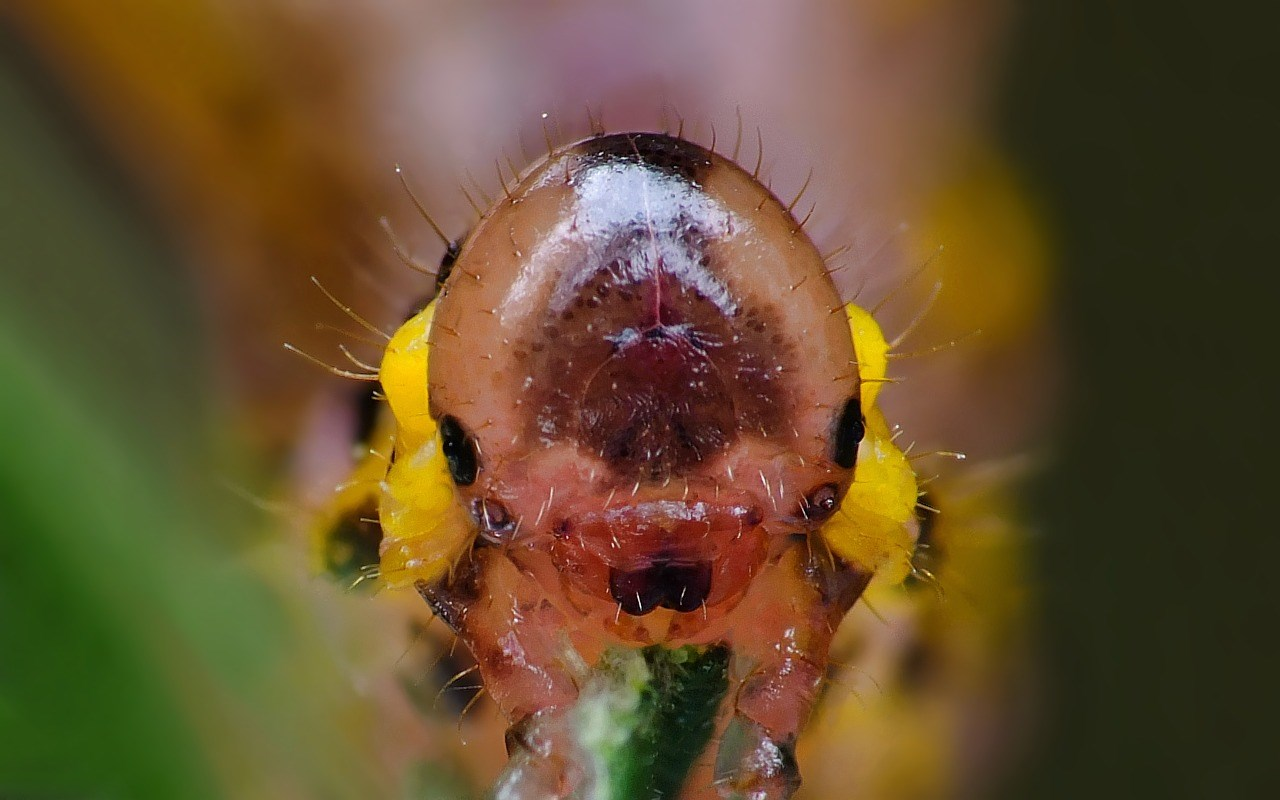 Arge gracilicornis