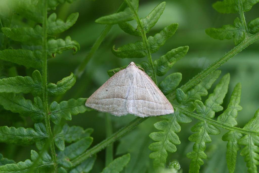 Foto/billede af Bregne-Måler (Petrophora chlorosata)