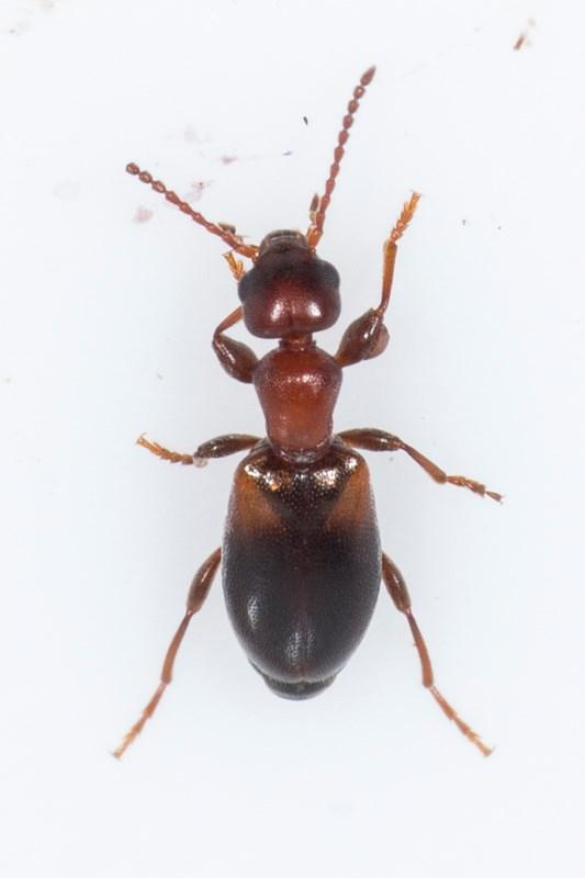 Omonadus formicarius (Omonadus formicarius)