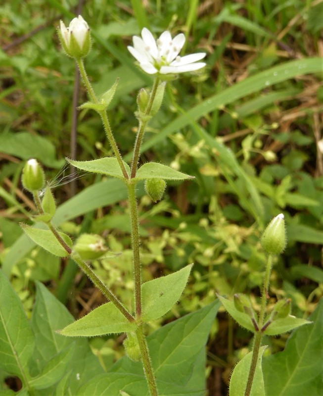 Foto/billede af Kløvkrone (Myosoton aquaticum)
