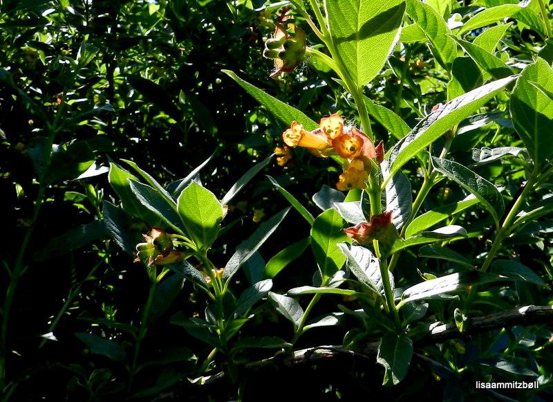 Svøb-Gedeblad (Lonicera involucrata) - Foto/billede fra Danmark taget af Lisa Ammitzbøll ...