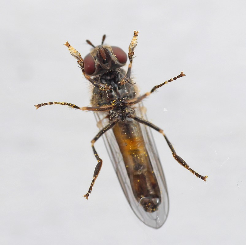 Skov-Bredfodsflue (Platycheirus scutatus)