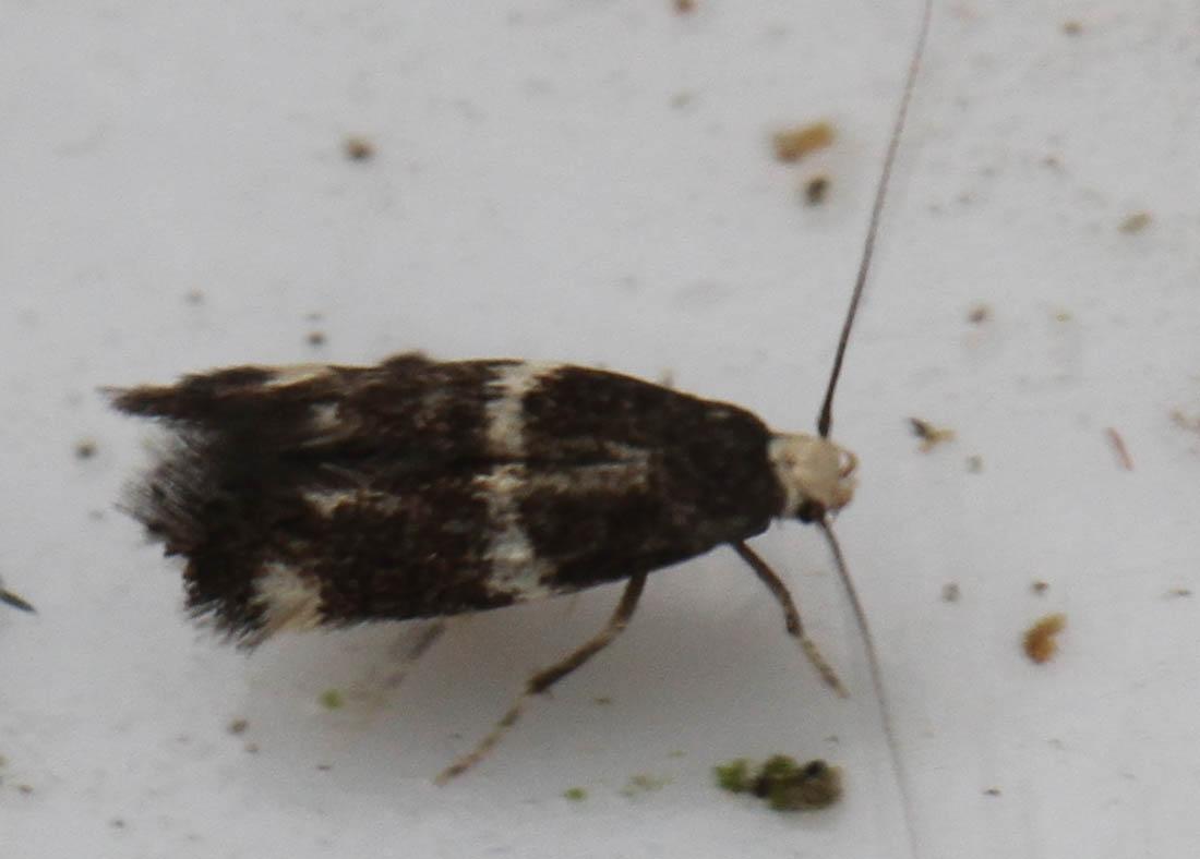 Elachista albifrontella