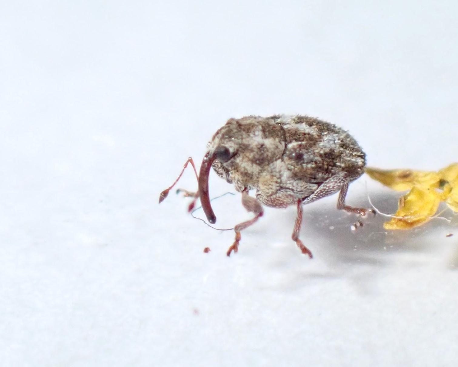 Trichosirocalus barnevillei