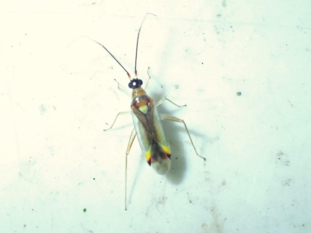 Jomfrublomstertæge (Campyloneura virgula)