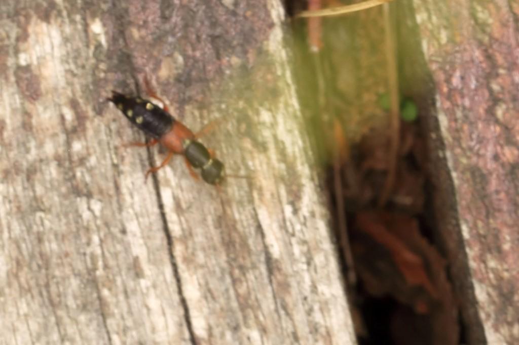 Foto/billede af Lille Kejserrovbille (Staphylinus erythropterus)