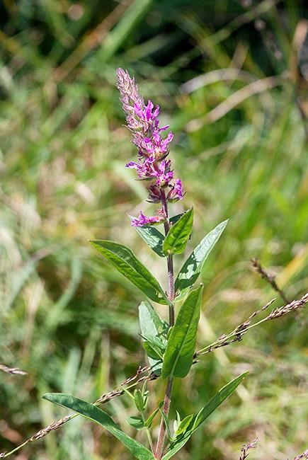 Foto/billede af Kattehale (Lythrum salicaria)