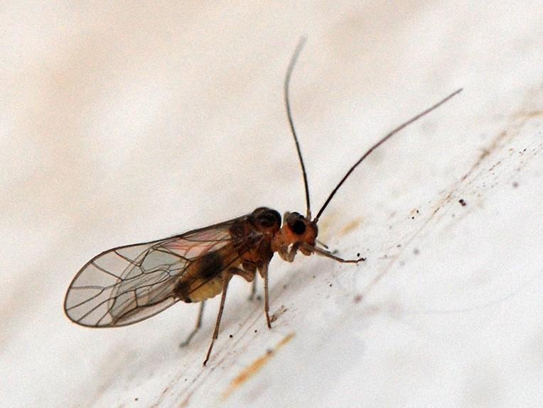 Stenopsocus immaculatus/lachlani (Stenopsocus immaculatus/lachlani)