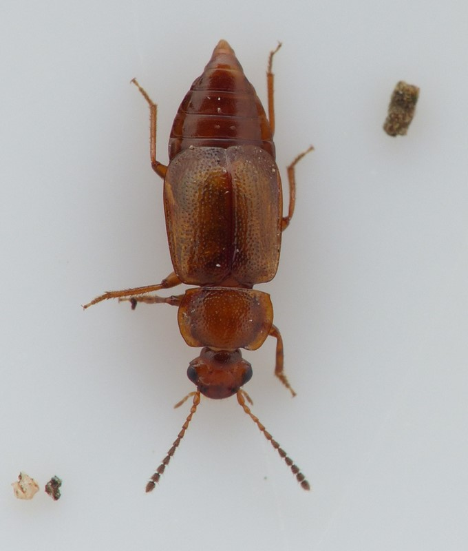Anthobium unicolor