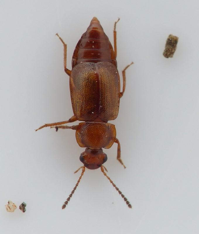Anthobium unicolor (Anthobium unicolor)