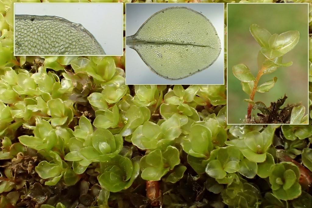 Foto/billede af Almindelig Bredblad (Rhizomnium punctatum)
