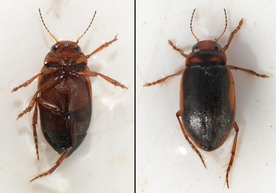 Hydroporus dorsalis (Hydroporus dorsalis)