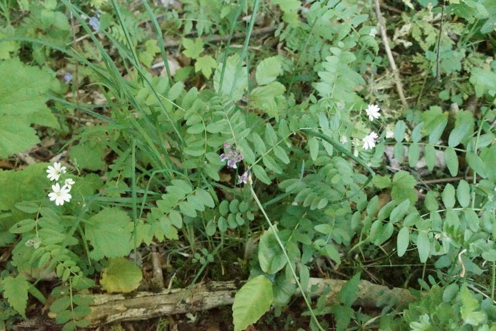 Gærde-Vikke (Vicia sepium)