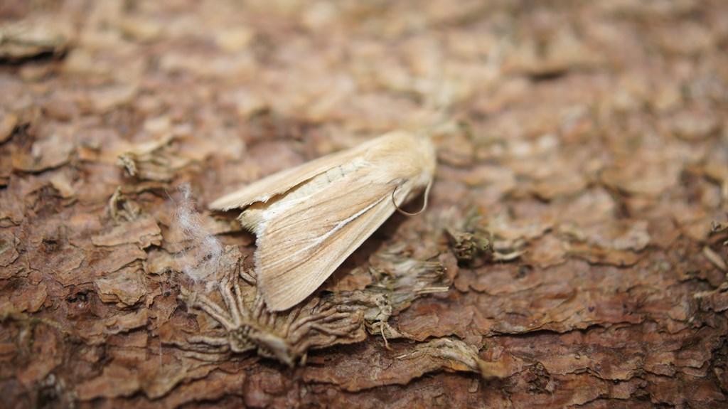 Foto/billede af Marehalmugle (Mythimna litoralis) (Mythimna litoralis)