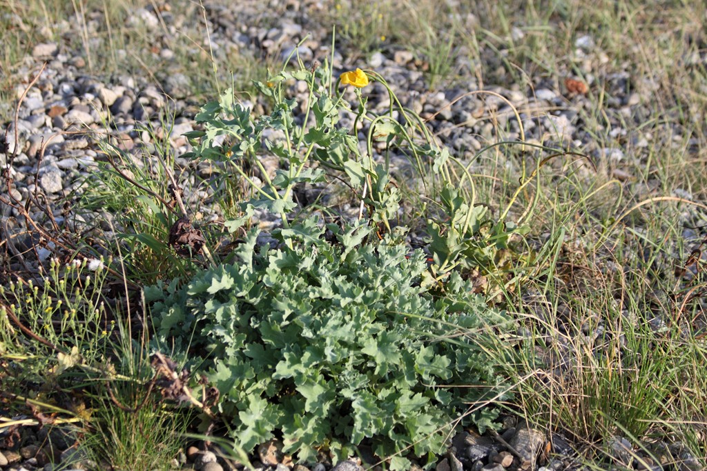 Foto/billede af Strand-Hornskulpe (Glaucium flavum)