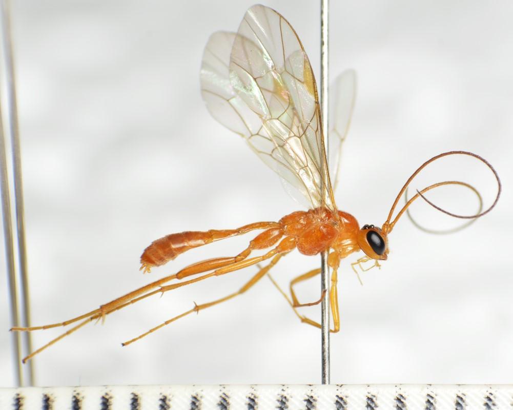 Absyrtus vernalis