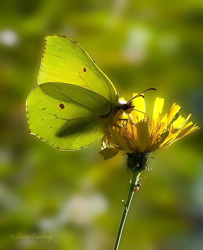 Foto/billede af Citronsommerfugl (Gonepteryx rhamni)