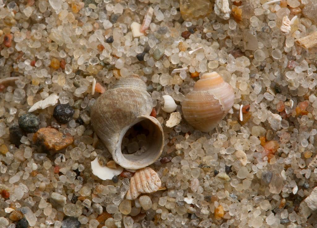Foto/billede af Ungefødende Strandsnegl (Littorina saxatilis)
