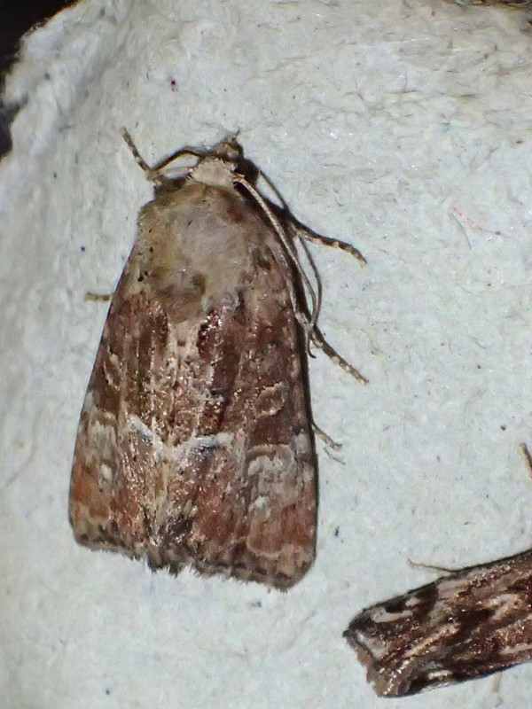 Lille Tyv (Mesoligia furuncula)