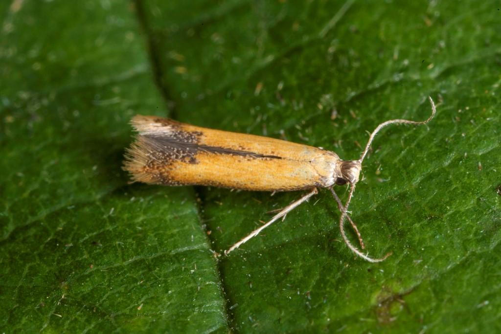 Coptotriche marginea
