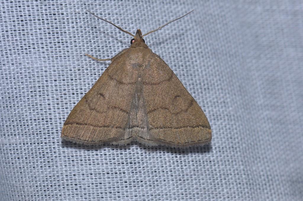 Almindelig Snudeugle (Herminia tarsipennalis)
