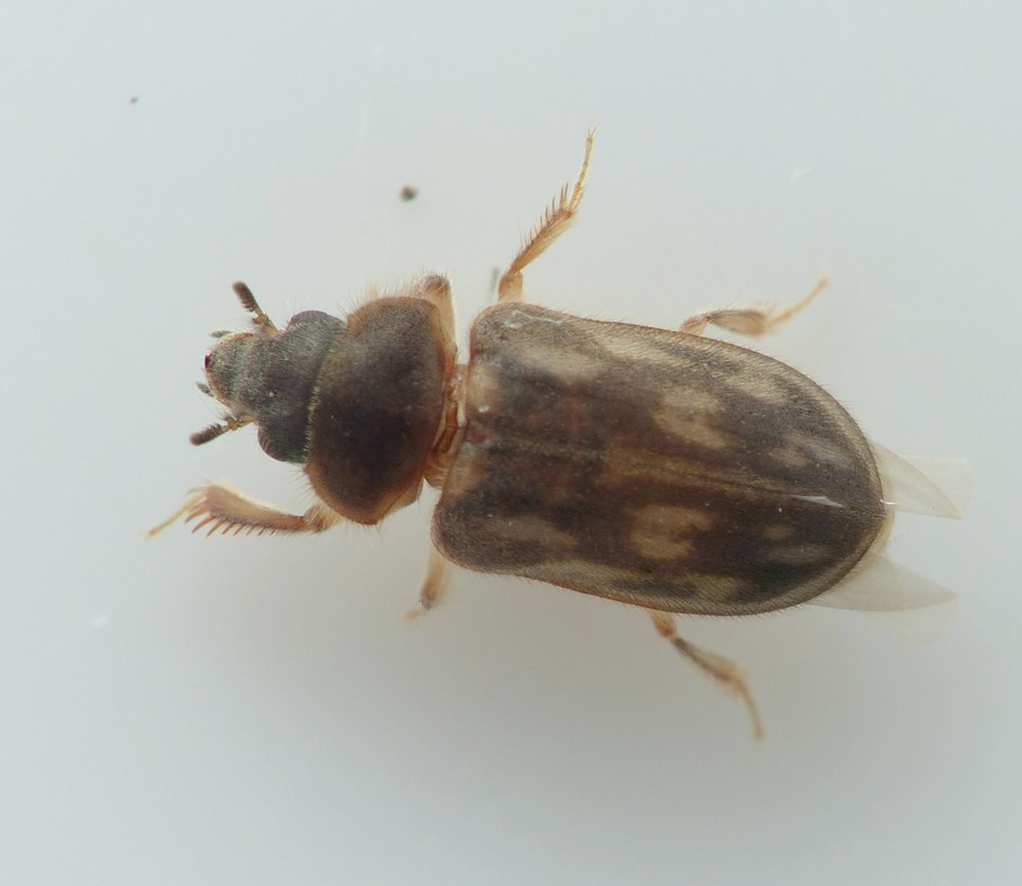 Heterocerus fenestratus (Heterocerus fenestratus)