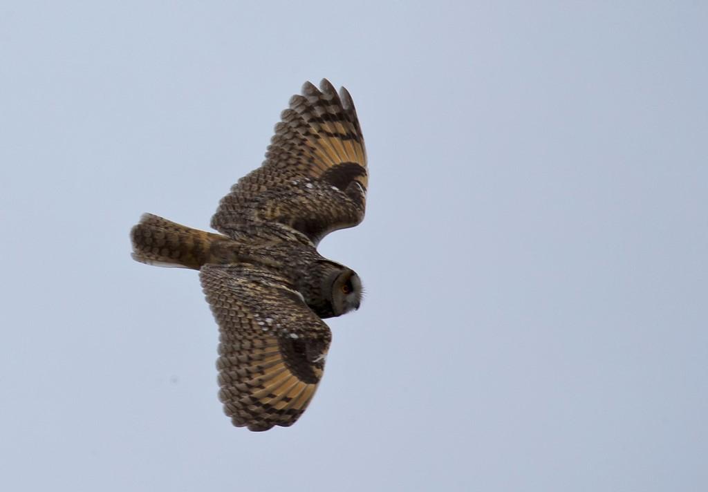 Foto/billede af Skovhornugle (Asio otus)