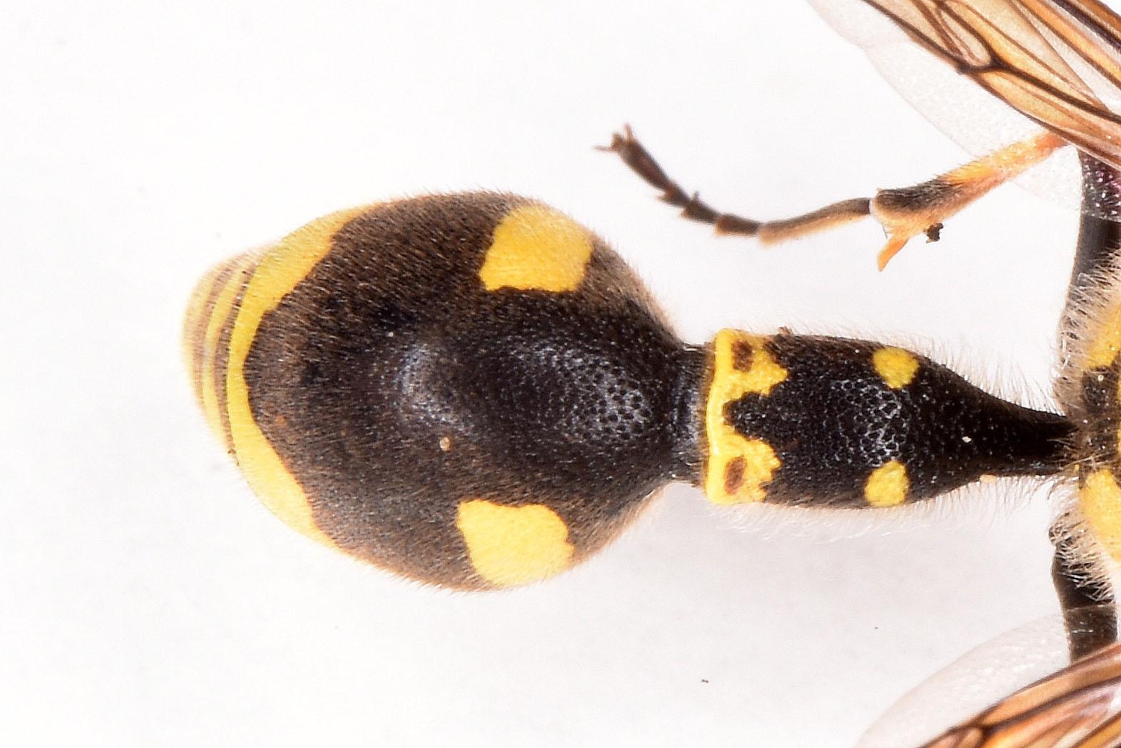 Foto/billede af Eumenes papillarius (Eumenes papillarius)