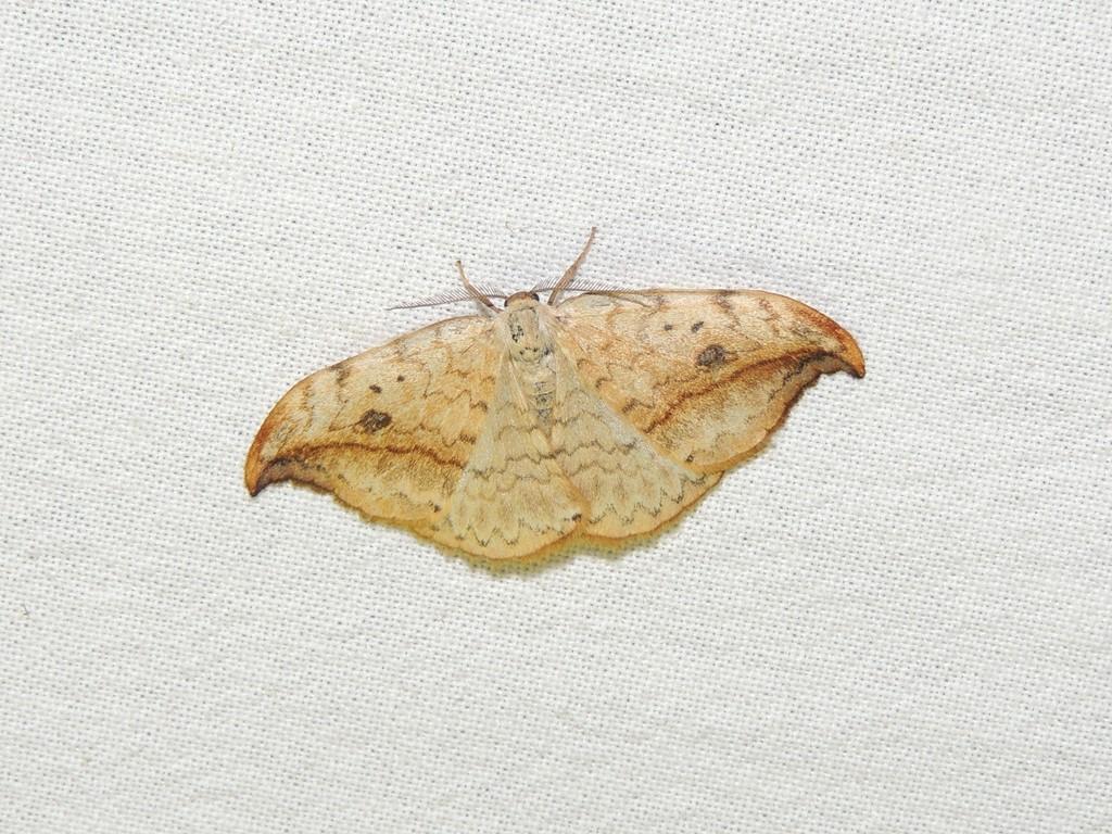 Birkeseglvinge (Drepana falcataria)