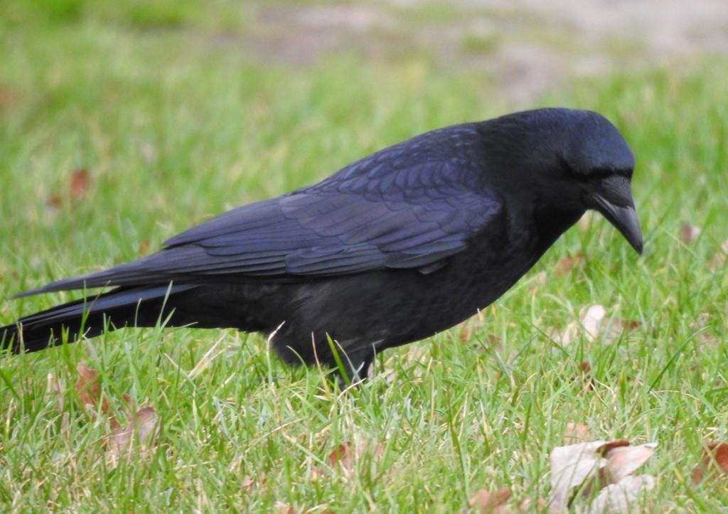 Sortkrage (Corvus corone)
