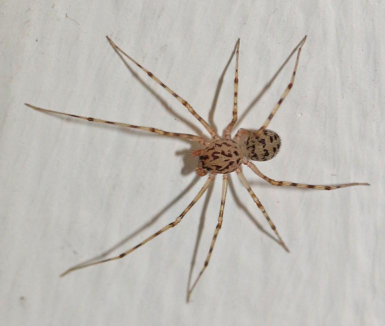 Foto/billede af Spytteedderkop (Scytodes thoracica)