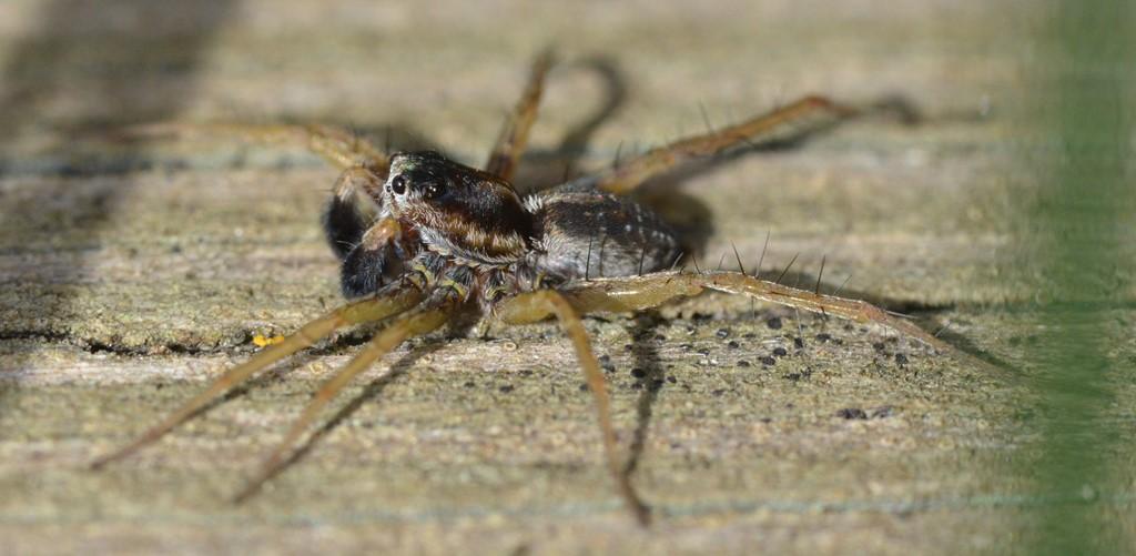 Hedejæger (Pardosa nigriceps)