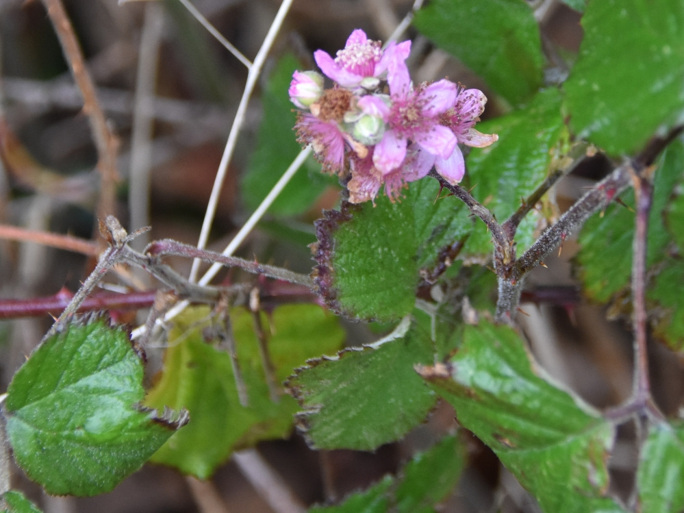 Foto/billede af Rundbladet Brombær (Rubus vestitus)