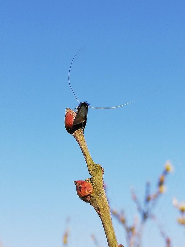 Pilelanghornsmøl