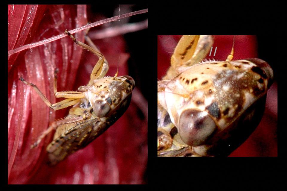 Bonbon-Cikade (Idiocerus herrichii)