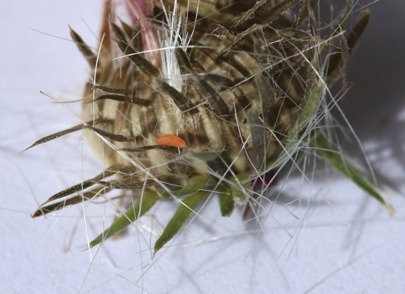 Jaapiella cirsiicola