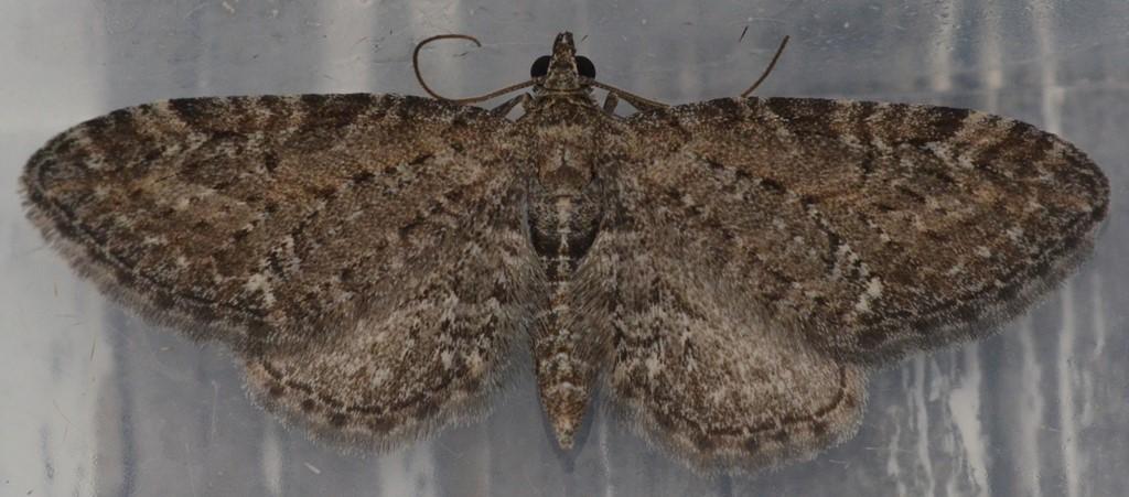 Foto/billede af Almindelig Dværgmåler (Eupithecia vulgata)