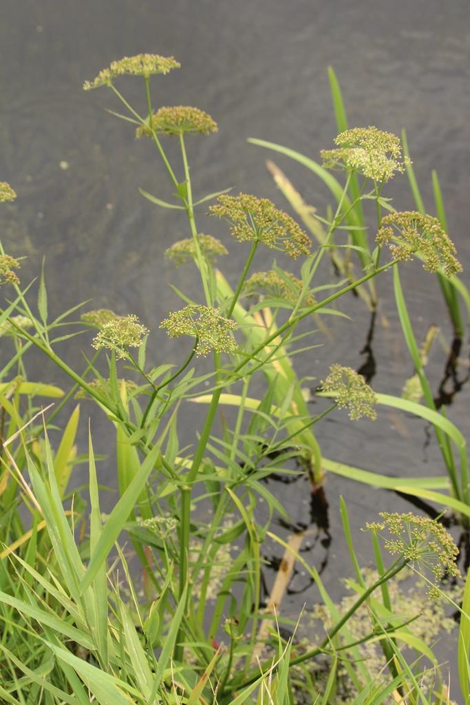 Foto/billede af Bredbladet Mærke (Sium latifolium)